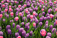 Hollande, région des champs de fleurs, Lisse, Keukenhof, massif avec jacinthe 'Amethyst' et tulipe 'Dynasty' (Hyacinthus 'Amethyst', Tulipa Triomphe 'Dynansty') // Flowerbed with Hyacinths 'Amethyst' and tulip 'Dynasty' (Hyacinthus 'Amethyst', Tulipa Triomphe 'Dynansty')