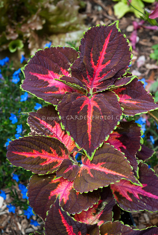 Coleus Solenostemon Festive Dance, annual foliage plant in shades of red, maroon with green picotee edge ornamental leaf colors