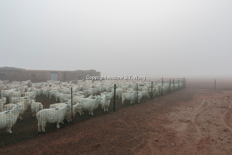 Sheep await to be released from their pen early in the morning at a eco-farm in Alxa Left Banner, Inner Mongolia, China, October 2017.