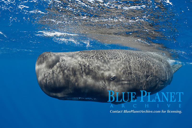 sperm whale, Physeter macrocephalus, juvenile female about 6-11 years old, with remora, Endangered Species, Commonwealth of Dominica ( Caribbean Sea)