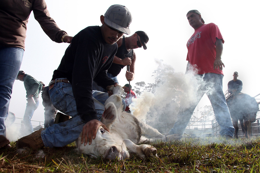 """Brandings require a lot of manpower so the paniolo community comes together during branding season.  While the cowboys do most of the separating and roping, family members and friends volunteer for the less skilled work such as holding down a calf or spraying iodine on it once it has been castrated. """"Everyone know what their role is,"""" says Goddfrey Kainoa, one of whose calves is being branded here.  Kainoa, who, through the Haiwaiian Homelands Commission Act, leases a piece of land on which he raises a small herd of cattle in Waimea, Hawaii and is one of the original descendents of the Mexican vaqueros who taught the Hawaiians their cowboys skills."""