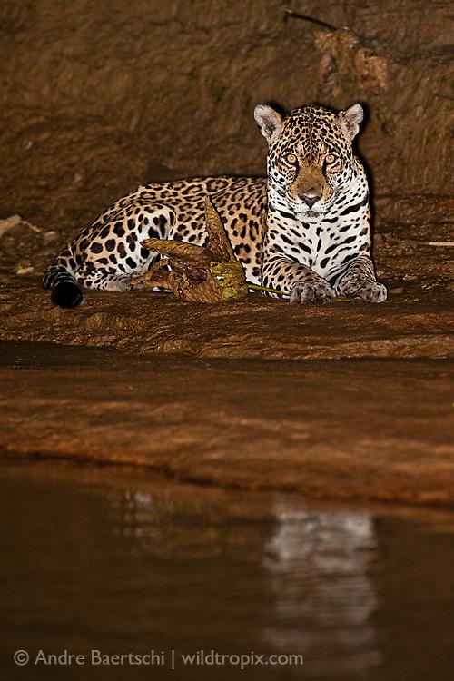 Jaguar (Panthera onca), adult female at the edge of Pinquen River, lowland tropical rainforest, Manu National Park, Peru.
