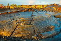 pahoehoe lava from Kilauea eruption and newly planted coconut palm trees at sunrise, Kaimu Beach at Kalapana, Black Sand Beach, Kaimu Bay, Puna, Big Island, Hawaii, USA