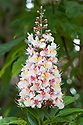 Blossom of Aesculus indica (Indian horse chestnut), mid May.