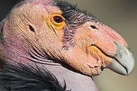 California Condor (Gymnogyps californianus)