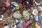 Shorebird eggs on the beach, Katmai National Park, Alaska, USA