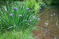 Iris versicolor (Blue Flag) iris and sedge by pond in environmentally-responsible, native plant sustainable garden, Mt Cuba Center Delaware