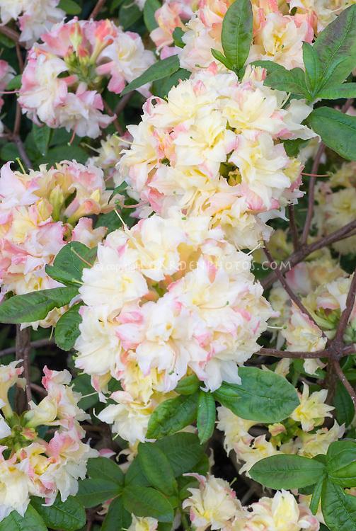 Rhododendron Cannon's Double (Deciduous Azalea)