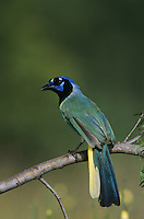 Green Jay, Cyanocorax yncas, adult, Willacy County, Rio Grande Valley, Texas, USA, May 2004