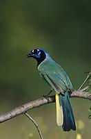 Green Jay, Cyanocorax yncas, adult, Willacy County, Rio Grande Valley, Texas, USA, May 2004