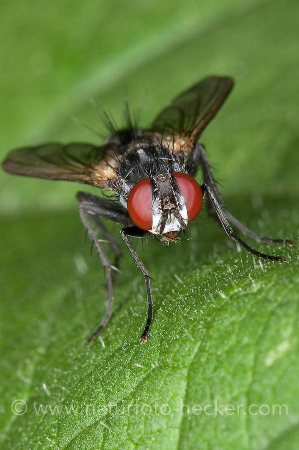 Raupenfliege, Portrait, Porträt mit Auge, Augen, Facettenauge, Facettenaugen, Tachinidae, Raupenfliegen, Schmarotzerfliegen, Tachinidae, tachinid fly, tachinids, parasitic flies, tachina flies