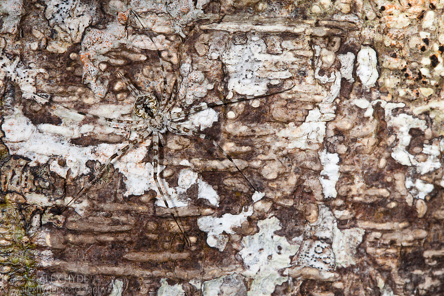 Long-spinnered Bark Spider {Hersiliidae sp} camouflaged on tree bark, tropical rainforest, Masoala Peninsula National Park, north east Madagascar.