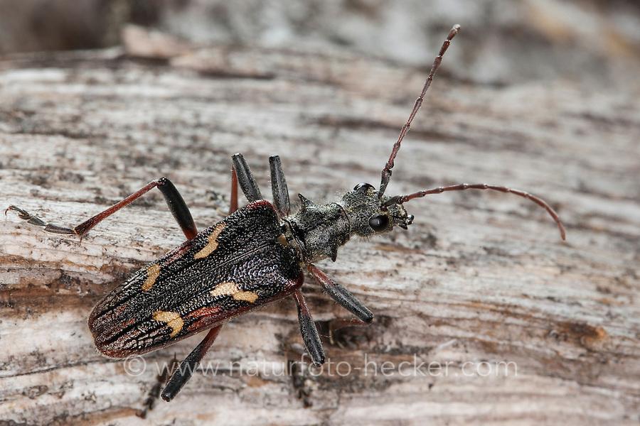 Gelbbindiger Zangenbock, Zweibindiger Zangenbock, Zweistreifiger Zangenbock, Rhagium bifasciatum, two-banded longhorn beetle, two banded longhorn beetle