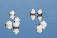 Snow Goose (Chen caerulescens), adults sleeping, Bosque del Apache National Wildlife Refuge , New Mexico, USA,