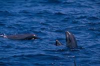 melon-headed whales, Peponocephala electra, spy-hopping, Nuku Hiva, Marquesas, French Polynesia (South Pacific Ocean) Malaysia (Celebes Sea)