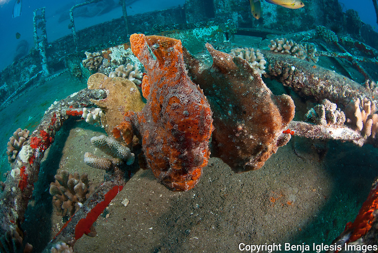 Yellow, red and brown frogfish at the st Anthonys wreck Maui Hawaii, 65 feet deep.