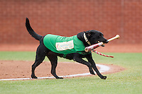 """""""Miss Lou Lou Gehrig"""" retrieves a bat during the South Atlantic League game between the Hagerstown Suns and the Greensboro Grasshoppers at NewBridge Bank Park on May 20, 2014 in Greensboro, North Carolina.  The Grasshoppers defeated the Suns 5-4. (Brian Westerholt/Four Seam Images)"""