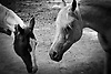 Black and white, shallow depth of field photo of the heads of two horses.