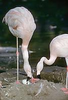 Rosa-Flamingo, Paar, Pärchen am Nest, Rosaflamingo, Rosa Flamingo, Phoenicopterus roseus, Phoenicopterus ruber, greater flamingo