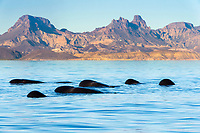 short-finned pilot whale, Globicephala macrorhynchus, logging, resting at the surface, Baja California, Mexico, Gulf of California, aka Sea of Cortez, Pacific Ocean