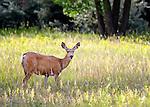 One deer in a meadow