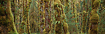 Sitka spruce and bigleaf maples, Quinault Rainforest, Olympic National Park, Washington, USA