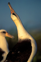 Laysan albatross courtship dance, sky-point and mooing.