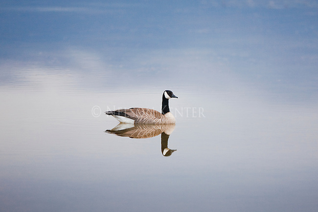 Canada Goose on a glass smooth pond in Montana