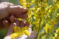 Königskerze-Ernte, Königskerzen-Ernte, Königskerzeernte, Königskerzenernte, Blütenernte, Kräuterernte, Kräuter sammeln, Königskerze, Königskerzen-Blüten, Verbascum spec., Mullein, Blüten, lychnite