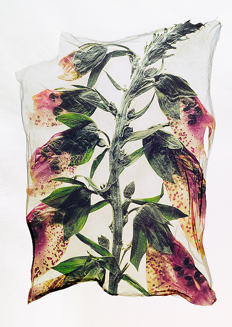 Pressed Fox Gloves -  Wild  flowers - Polaroid lift.