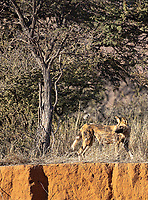 We missed out on wild dogs in the Greater Kruger, but did see the small pack (all radio collared) at Tswalu.