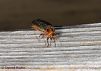 0511-1003  Soldier Beetle, Two-lined Leather-wing, Atalantycha bilineata  © David Kuhn/Dwight Kuhn Photography.
