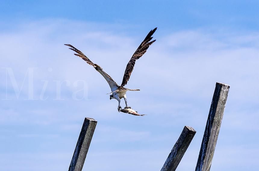 Osprey in flight with catch, North Carolina, USA