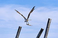 Osprey in flight with catch, North Carolina, USA