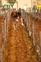 A woman vineyard worker manually removing weed from the Romanee Saint Vivant grand cru vineyard in Vosne Romanee