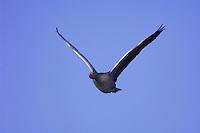 Greylag Goose, Anser anser, adult in flight,National Park Lake Neusiedl, Burgenland, Austria, April 2007
