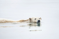 Polar bear swims in the chill waters of the Beaufort sea, Arctic Alaska.