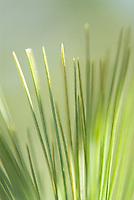 Pine tree needles<br />