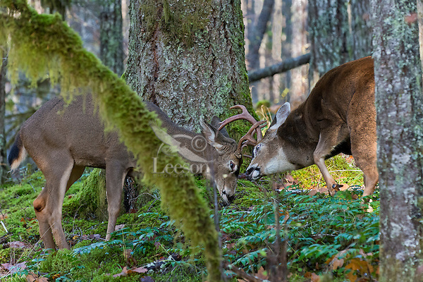 Coastal Black-tailed Deer Bucks or Columbian black-tailed deer bucks (Odocoileus hemionus columbianus) sparring.  Late Fall, Pacific Northwest