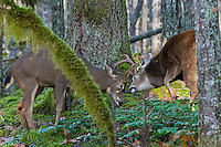 Coastal Black-tailed Deer Bucks or Columbian black-tailed deer bucks (Odocoileus hemionus columbianus) sparring.  Late Fall, Pacific Northwest