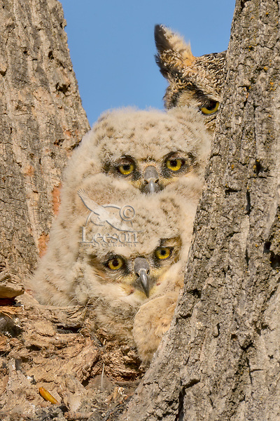 Young Great Horned Owlets (Bubo virginianus) watch from the crotch of a tree while mom keeps watch too .  Oregon, spring.