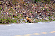 Red Fox - Vulpes vulpes - Hunting on the side of the Kancamagus Highway (route 112), during the spring months. Located in the White Mountains, New Hampshire USA