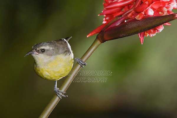 Bananaquit, Coereba flaveola, young on Flower of Ginger Family, Central Valley, Costa Rica, Central America, December 2006