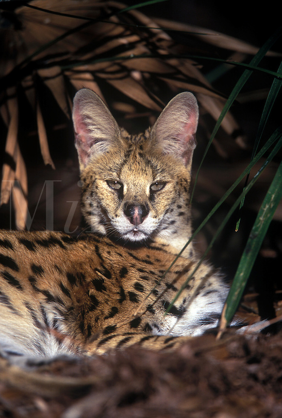 Serval (Leptailurus Serval). large ears alert
