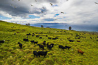 Cattle graze at Maui's Ulupalakua Ranch, with white egrets flying overhead. Kaho'olawe is in the distance.