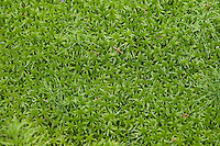 Torfmoos, Torf-Moos, Bleichmoos, Sphagnum spec., Sphagnaceae, Torfmoose, peat moss