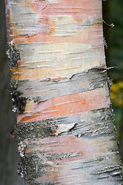 Yellow Birch Tree (Betula alleghaniensis) trunk closeup, Algonquin Provincial Park, northern Ontario, Canada.