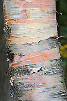 Yellow Birch Tree (Betula alleghaniensis) trunk closeup, Algonquin Provincial Park, northern Ontario, Canada.