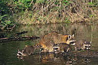 Raccoon (Procyon lotor) mother with young.  Western U.S.