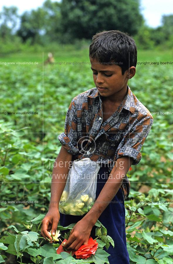 INDIA Andhra Pradesh, children work in cotton field of seed producer and cross male and female cotton plant for production of cotton Hybrid seeds by artificial pollination / INDIEN, Kinder arbeiten in einem Baumwollfeld und kreuzen Baumwollsaat durch kuenstliche Bestaeubung von weiblicher und maennlicher Pflanze fuer einen Saatgutbetrieb
